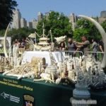 Ivory Crushed in New York